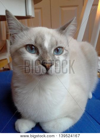 Cat with blue eyes and white fur