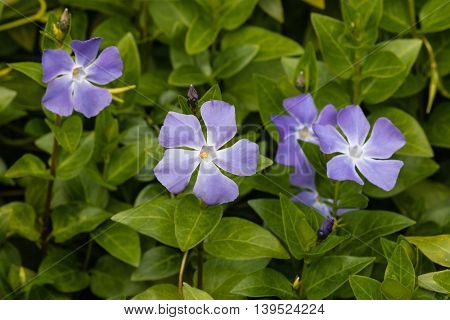 cluster of blue periwinkle flowers in bloom