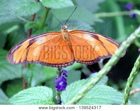 Orange Tiger Butterfly on a flower in garden of Niagara Falls Ontario 16 July 2016 Canada