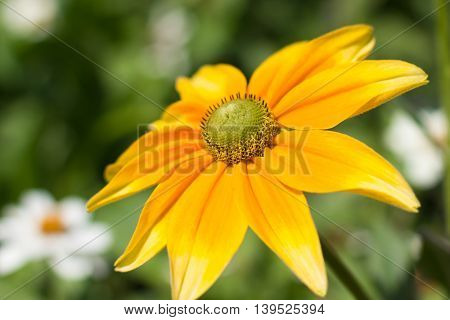 Rudbeckia Hirta , Yellow Summertime Flower