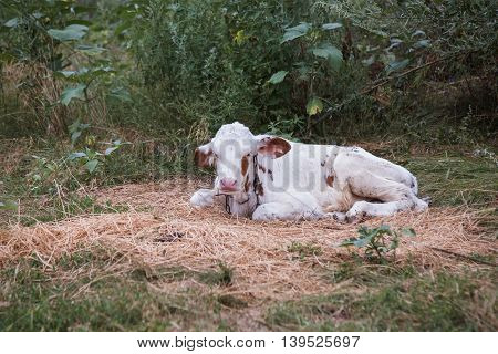 Cow Lying Down In The Manger