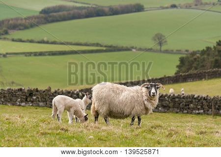 ewe with newborn lambs grazing in paddock