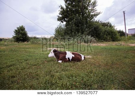 Cow Lying Down In A Nature