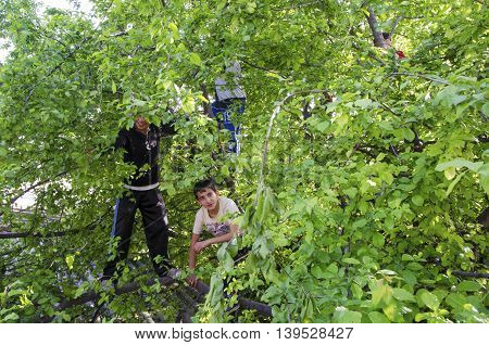 Istanbul Turkey - May 23 2013: Public tree children eating plums on a plum tree.