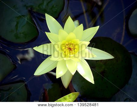 Yellow waterlily in a pond. Lily flower. Waterlily. Water lily. Lotus flower.