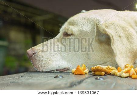 Labrador retriever dog is lying next to a dog snack food.