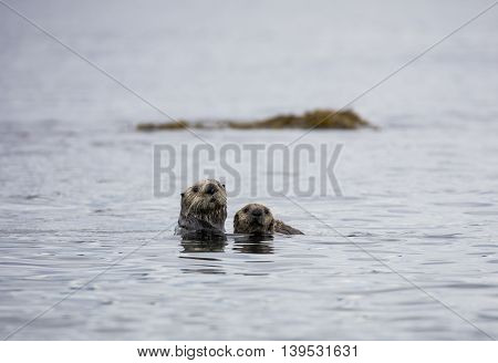 Mother sea otter and her pup in the bay