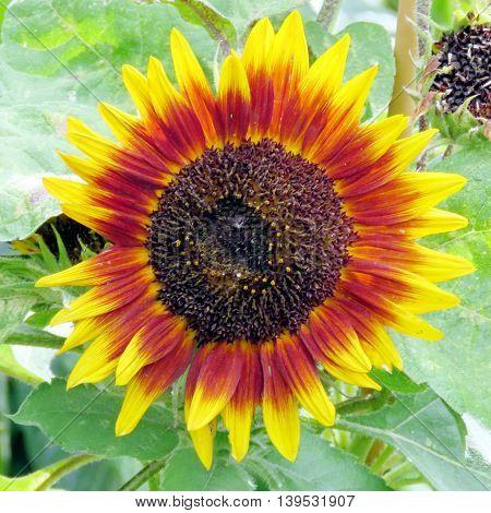 Sunflower in garden of Niagara Falls Ontario, Canada