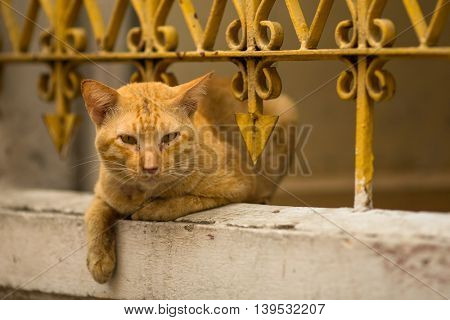 Stray ginger cat lies under the iron fence-lattice.