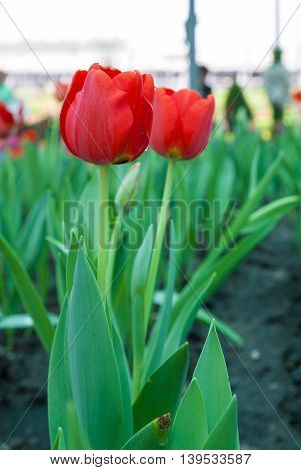 Red Tulip With Bokeh