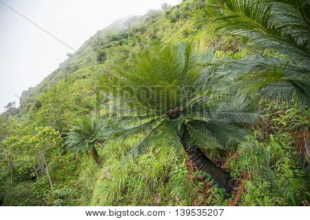 Cycad palm tree in the forest Umphang Tak ,Thailand.