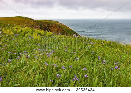 Wild flowers growing at the cliff's edge at Cape St. Mary's Newfoundland
