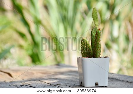 Beautiful cactus on wood table blurry background, in garden, nature light, decoration