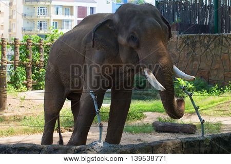 Asian elephant in the zoo closeup. Vietnam