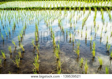 rice sprout ready to growing in the rice field.
