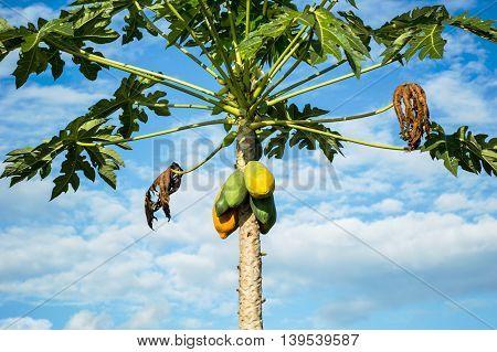 papaya tree on blue sky backgroun in nature