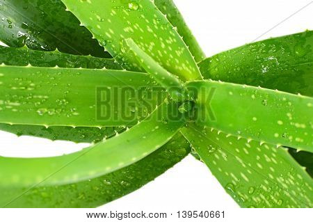 Close up of aloe vera leaves isolated