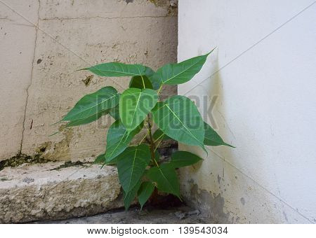A Plants on the dirty wall. nature and concrete.
