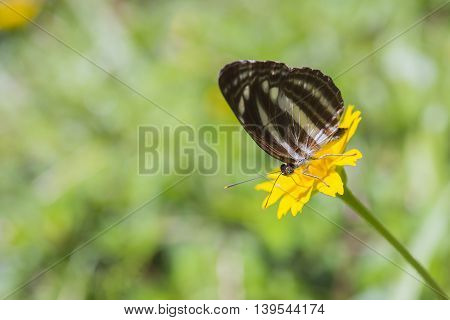 the brown butterfly on the yellow flower for eating the food