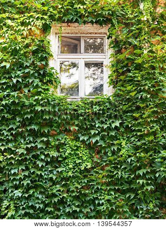white window in old house with green leaves on wall, retro architecture style