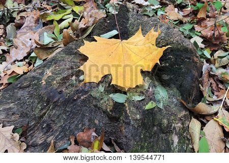 Stump In The Forest. Autumn