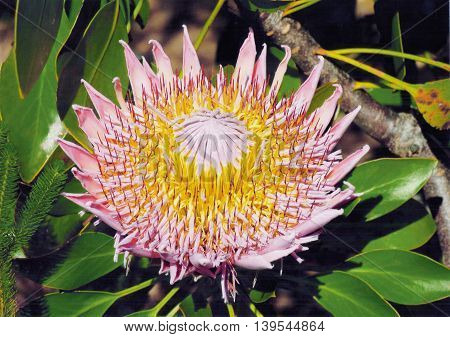 King Protea, Kirstenbosch, Cape Town South Africa 07