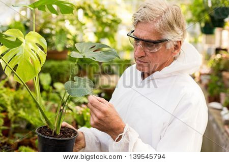 Male scientist in clean suit examining plant leaves at greenhouse
