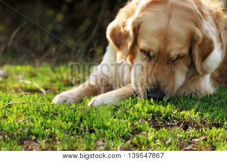 Beautiful dog Golden Retriever in the summer resting in nature something sniffs and searches in the grass