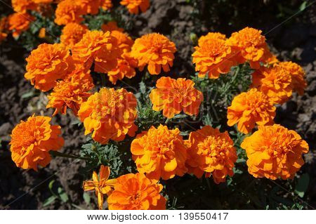 French marigold orange flowers on a sunny day.