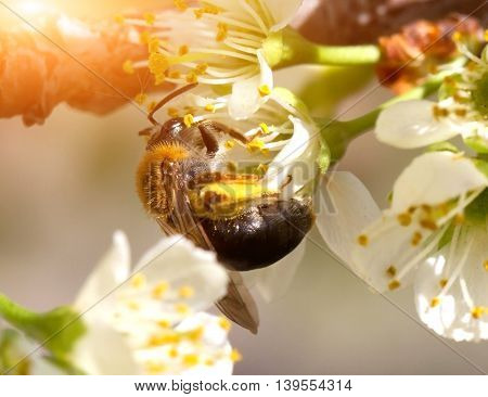 Bee Collects Nectar On The Flowers Of Apple Trees