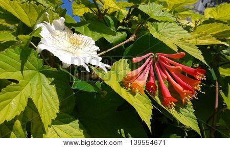 Trumpet and clematis flowers in green climbing hedgerow