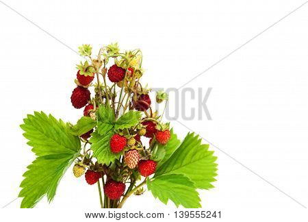 bunch of wild strawberry isolated on a white