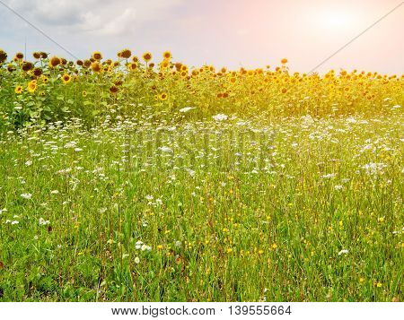 Background Of Wildflowers And Sunflowers