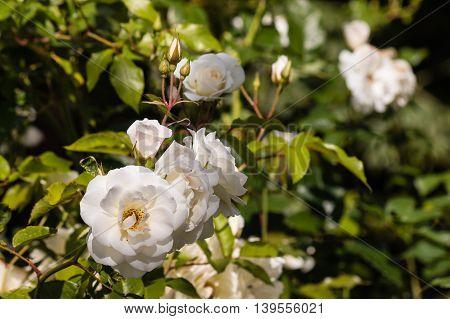 closeup of white tea roses in bloom