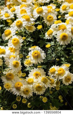 cluster of daisy chrysanthemum flowers in bloom