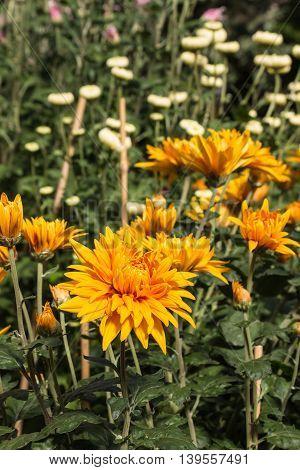 yellow and orange chrysanthemum flowers and buds