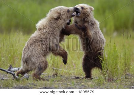 Brown Bear Cubs Wrestling
