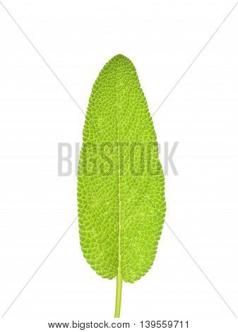 Sage Leaf Isolated On The White Background