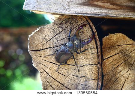 A close up shot of a stag beetle resting on some logs of fire wood.