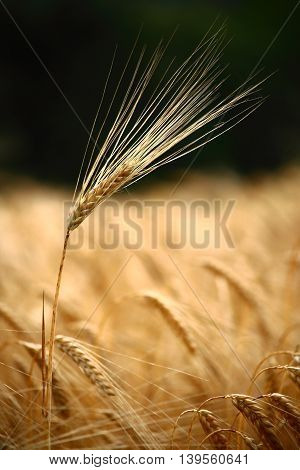Out of a rye field emerges a single ear, holding its head high while the others frown upon their fate. The awns pop out wonderfully, as they are placed in front of a dark, blurred background.