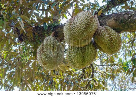 Fresh four durian in the orchard, leaves