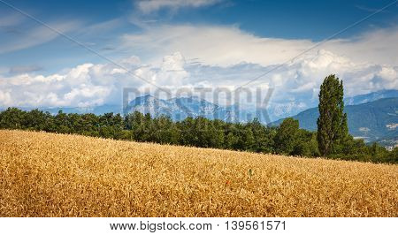 Wheatfield and Grand Morgon mountain range in Summer in the Southern French Alps(Hautes Alpes) France