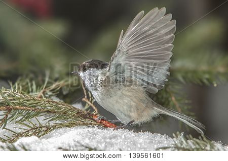 bright beautiful bird sitting in the snow around the green branches of pine trees