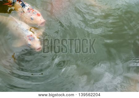 Koi fish at pond with copy space