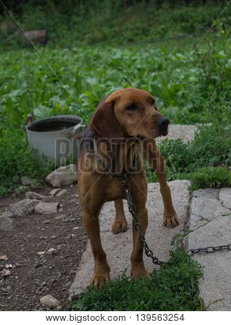 Brown dog chained with very sad look