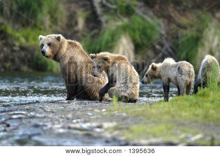 Braunbär Sow und jungen sitzen am Ufer