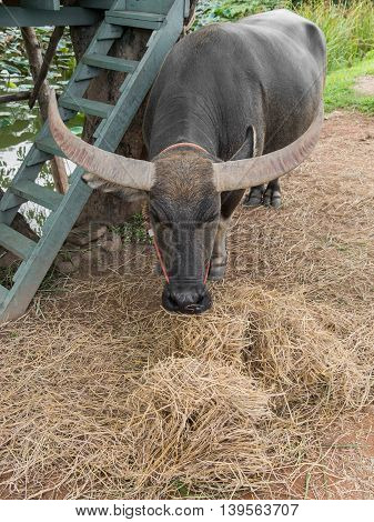 Water Buffalo Eating Hay Under The Tree Near Pond