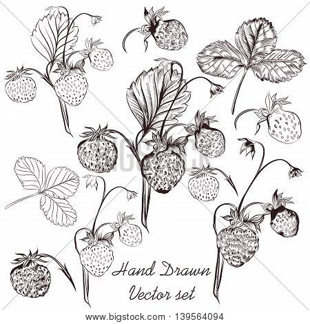 Hand drawn collection or set of vector strawberry plants in realistic engraved style for design