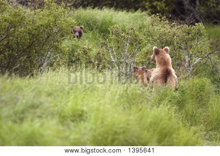 Brown Bear Sow And Cubs Watching Other Bear