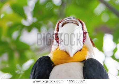 Wreathed hornbill (Rhyticeros undulatus) or the bar-pouched wreathed hornbill. Thailand.